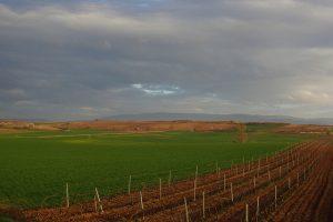 リオハのブドウ畑の様子