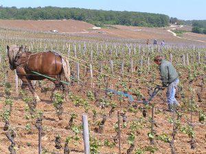 ロマネ・コンティのブドウ畑