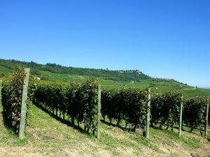 イタリア中部 トスカーナ州のブドウ畑