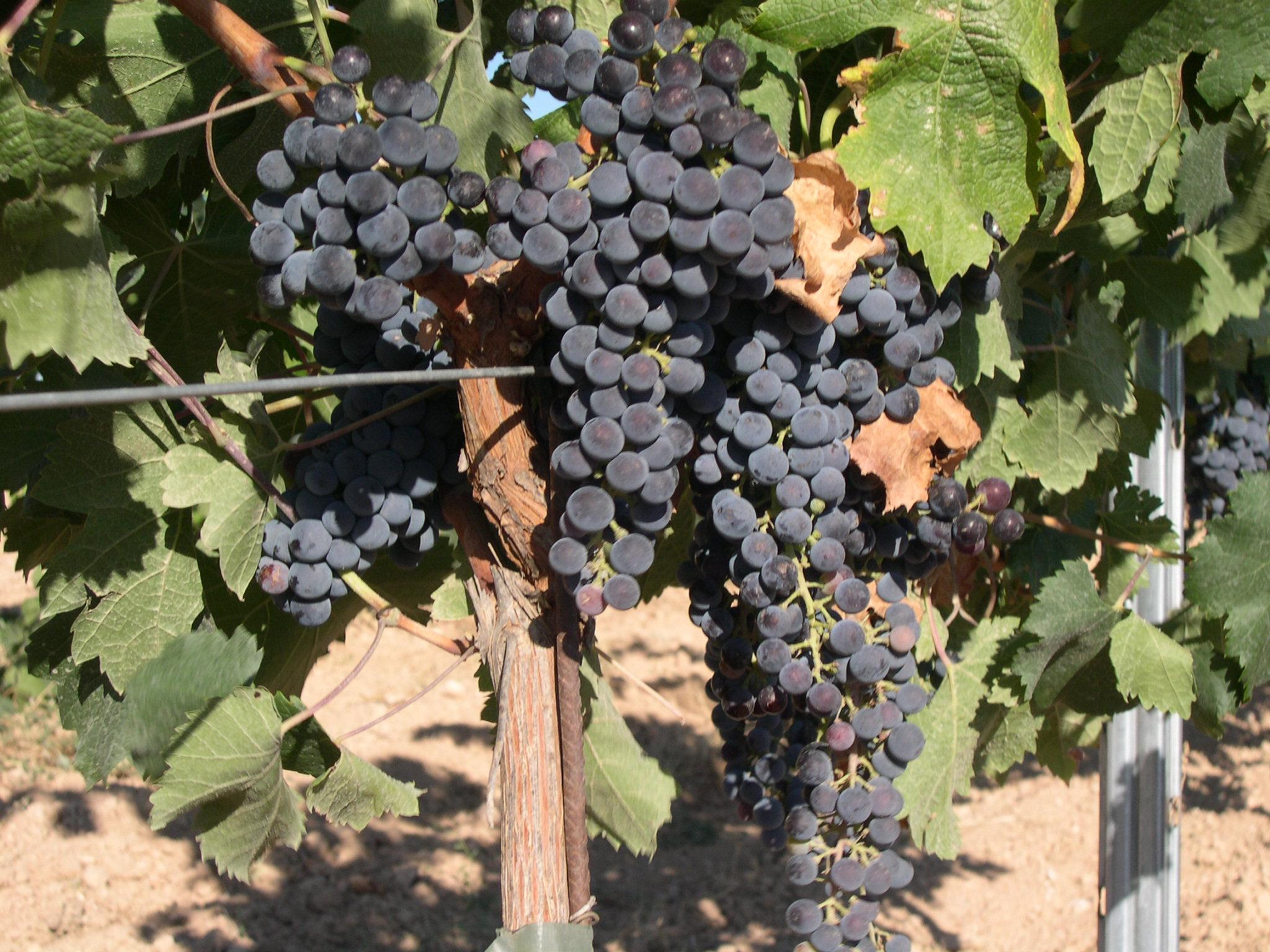 赤ワイン用ぶどう品種の一覧 - ...