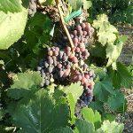 「サンジョベーゼ」の別名は「ブルネッロ」や「モレリーノ」など。産地によってブドウ品種の名前が変わる。
