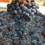 「ネッビオーロ」の別名は「スパンナ」や「キアヴェンナスカ」など。産地によってブドウ品種の呼称が変わる。