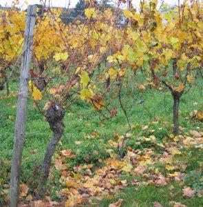 Vieille Vignes