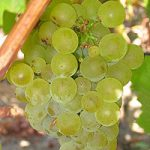 ニュージーランドワインの主要ブドウ品種