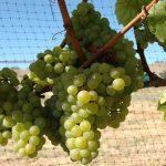 シャンパーニュ地方のブドウ品種について「ブランド・ド・ブラン」と「ブラン・ド・ノワール」とは?