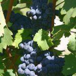 ロワール地方のブドウ品種とシノニム