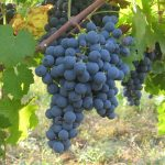 チリワインの主要ブドウ品種