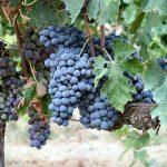 イタリアワインのブドウ品種(地場品種)