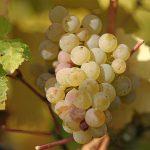 アルザスワインの主要ブドウ品種