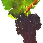 ローヌワインの主要ブドウ品種