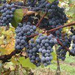 南アフリカワインの主要ブドウ品種