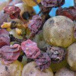 アルザス地方の甘口ワイン「ヴァンダンジェ・タルディヴ」と「セレクション・ド・グラン・ノーブル」