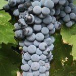 ボルドーワインの主要ブドウ品種