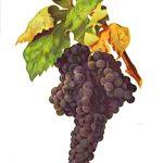 スペインワインの主要ブドウ品種