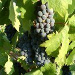 アメリカ合衆国のワイン主要ブドウ品種