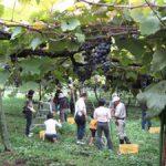 【新潟】岩の原葡萄園  収穫祭 2015年  (10/3〜10/4)