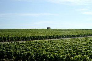 ボルドー地方のブドウ畑